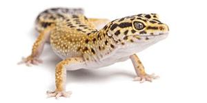 Gecko Care