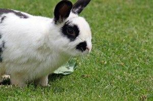 Himalayan Rabbits: The Facts - ABC Petmeds